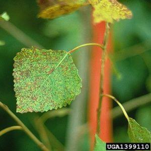 Aspen Leaf Spotting