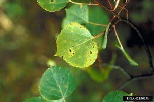 light green aspen spot close-up