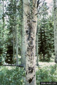 light bark aspen hypoxylon canker