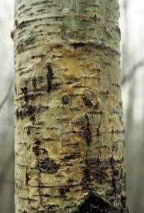 aspen hypoxylon canker close-up