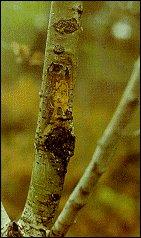 darker bark aspen hypoxylon canker