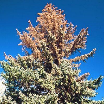 Pine tree effected by Ips Beetles