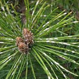 Pine Needle Scale Disease