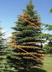 Salt Damage Disease in Juniper Tree