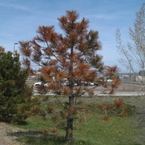 Winter Desiccation in Conifers tree