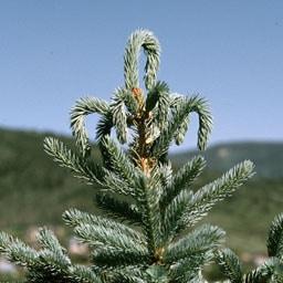 White Pine Weevil in Pine Tree