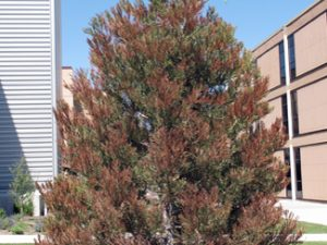 Winter Desiccation Treatment by Low Stump Tree Service
