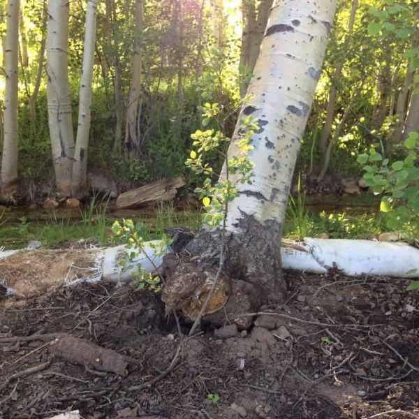A tree uprooted from the ground