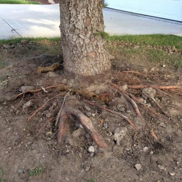 Uprooted roots of the tree