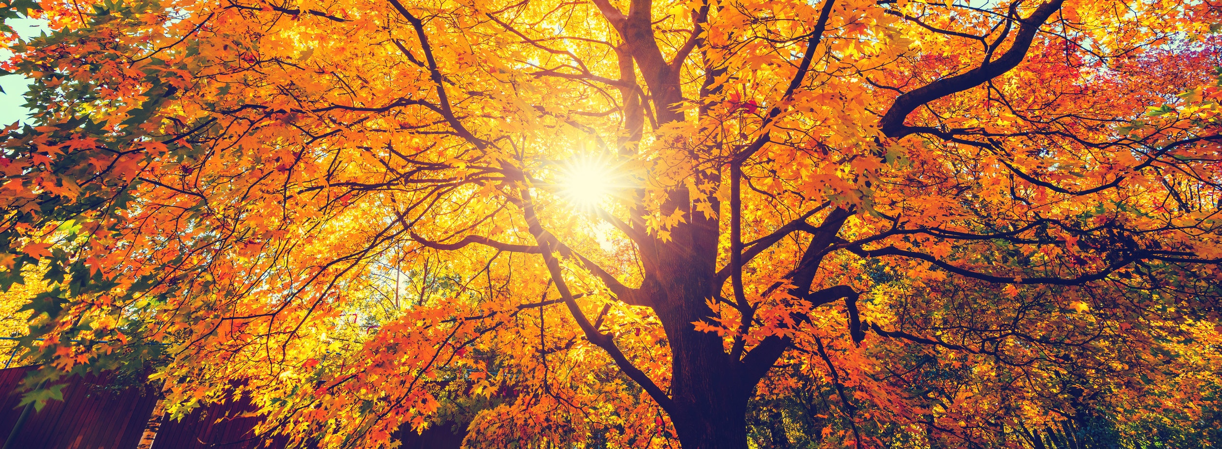 Sun shining through maple tree leaves in the fall